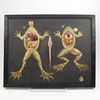Vergleichende Anatomie der Wirbeltiere: Rana esculenta. Wasserfrosch. [Comparative Anatomy of the Vertebrates: Rana esculenta. Water Frog.]