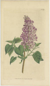 syringa vulgaris common lilac