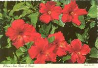 Hibiscus, State Flower of Hawaii 1969 unused Postcard