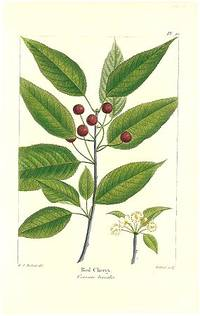 Red Cherry.  Cerasus borealis