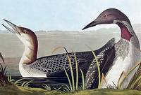 Black-throated Diver. From The Birds of America (Amsterdam Edition)
