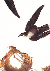 American Swift. From