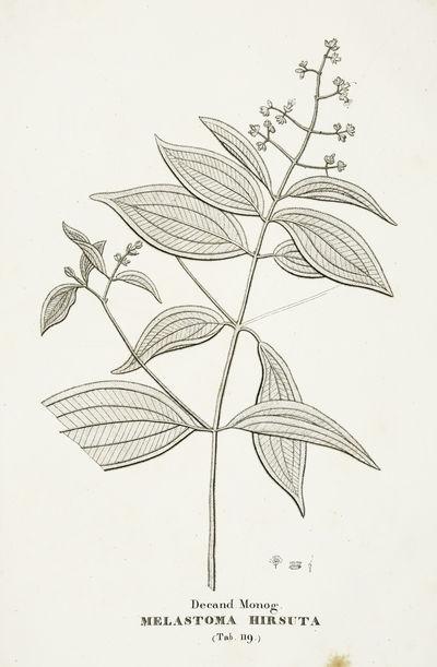 Florae Fluminensis Icones.