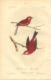 image of The Vermilion Flycatcher: Cardellina rubra