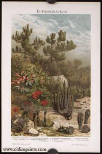 Euphorbiaceen