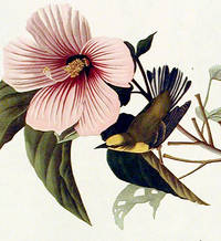 Blue-winged Yellow Warbler. From The Birds of America (Amsterdam Edition)