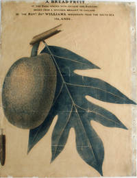 A bread-fruit of the Paea species with its leaf and blossom, drawn from a specimen brought to England by the Revd. Jno. Williams, missionary from the Sea Sea Islands
