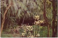 Fern Grotto, Island of Kauai, unused Postcard