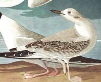 Bonapartian Gull. From The Birds of America (Amsterdam Edition)
