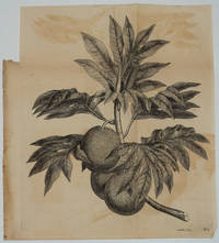 image of Breadfruit Engraving from Cook's first voyage
