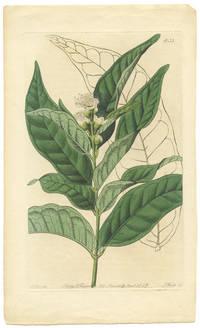 Eugenia amplexicaulis.  Stem-clasping Eugenia.