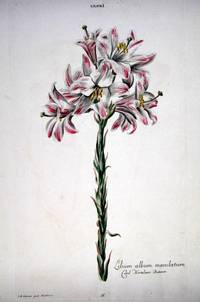 HORTUS NITIDISSIMIS ... : Lilium I; Lilum Album Maculatum (print)