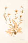 View Image 2 of 2 for Hieracium villosum Inventory #11942