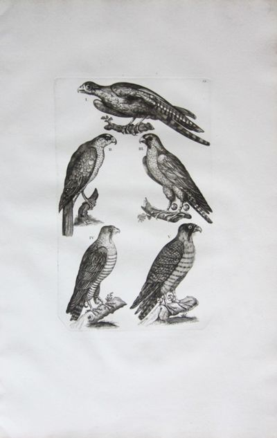 Collection of Large Falcon Etchings,...