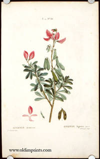 Ononis fruticosa. Ononis ligneux. by  P.J.  (illus).  Mlle. Brenet (engraved by) SHRUBBY RESTHARROW) Redoute - Ca. 1801- 1819. - from oldimprints.com and Biblio.com