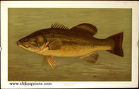 The Large-Mouthed Black Bass. Micropterus salmoides