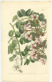 Bauhinia corymbosa.  Corymb-flowering Bauhinia.