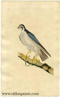 Falcon (?)