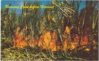 Harvesting Sugar Cane, Hawaii, unused Postcard
