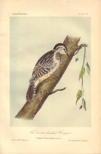 image of The brown headed Creeper: Picolaptes brunneicapillus