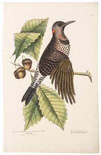 The Golden Wing'd Woodpecker