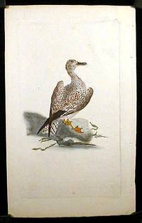 Larus Marinus. Wagel Gull