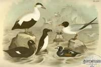 Plate LXV Eider Duck, Laughing Gull, Razor-billed Auk, Velvet Duck, Harlequin Duck