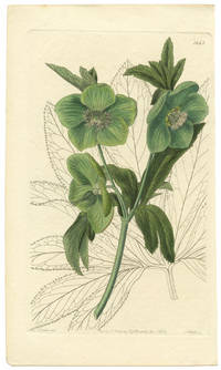 Helleborus odorus.  Sweet Hellebore.