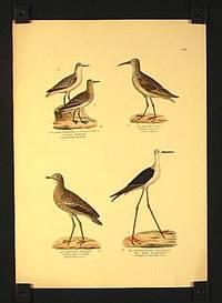 Der graue Sanderling a. Sommer b. Winter. Calidris arenaria, Sanderling variable. / Der gefleckte Erolin. Erolia oariegata. Erolie variee. Der knarrende Diekfuss. Oedicnemus crepitans. Oedieneme criard. Der dunkelflugelige Stelzenlaufer. Himantopus