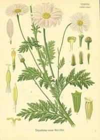 Chrysanthemum roseum Web. & Mohr