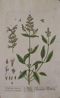 Salvia minor.  Salvia virtutis (from A Curious Herbal).