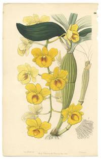Dendrobium chrysotoxum.  The Golden-arch Dendrobe.