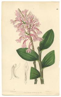 Dendrobium Kuhlii.  Kuhl's Dendrobe.