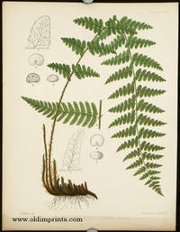 Aspidium Cristatum Swartz