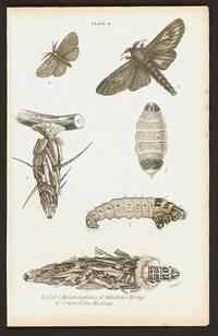 1.2.3.4.5. Metamorphoses of Oiketicus Kirbyi  6.  Cryptothelea Macleayi