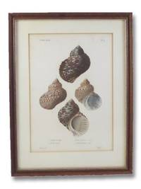 image of Five Color Natural History Prints Depicting Seashells from the Turbo Genus [Conchology, Sea Shells, Snails, Mollusca, Turbinidae]