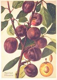 Montfort Pflaume. (Variety of purple plum)