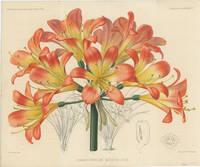 Himantophyllum Miniatum Hook.