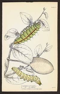 1. Caterpillar of S. Cynthia.  2. ___Do___of S. Mylitta.  3. Pedunculated cocoon of the latter