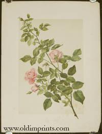 Die Rose.  Natur-Aufnahme