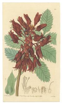Melianthus major.  The great Honey-flower.