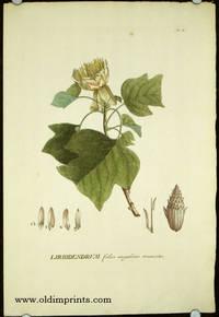Liriodendrum foliis angulatis truncatis