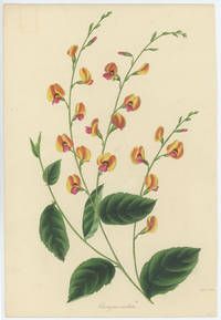 Chorizema Cordata. (Heart-Shaped Leaved Chorizema).