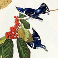 Azure Warbler. From The Birds of America (Amsterdam Edition)