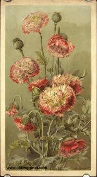 Opium Poppies.