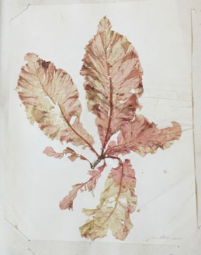 [Seaweeds herbarium of the Martinique].