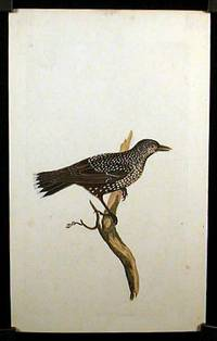 Corvus Caryocatactes. Nutcracker