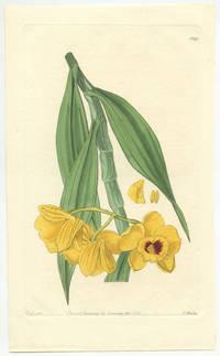 Dendrobium chrysanthum.  Golden-flowered Dendrobium.