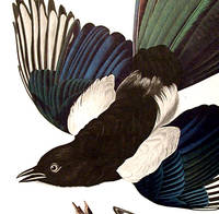 American Magpie. From The Birds of America (Amsterdam Edition)