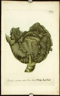 Brassica capitata alba, Chou blond